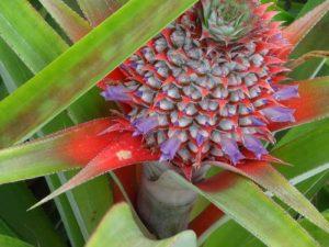 Fleur-d'ananas