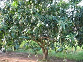 mangue-wad